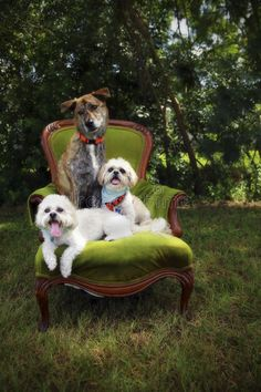 Three dogs on chair. Three dogs sitting on a old chair together outside , Chair Photography, Animal Photography, Christmas Pictures Outfits, Dog Portraits, Christmas Dog, Pet Photos, Tennessee Whiskey, Puppies, Pets