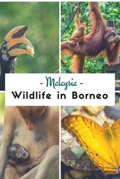 Borneo ist die drittgrößte Insel der Welt und einer der einzigartigsten Orte der Erde. Der Dschungel ist voll von exotischen und heimischen Tieren.