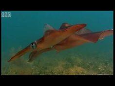 Bizarre fish in Kelp Seas - Blue Planet - BBC Earth