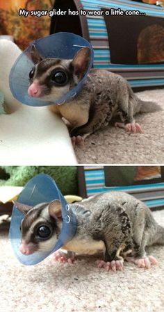 Funny pictures about Such a Sweet Cone Of Shame. Oh, and cool pics about Such a Sweet Cone Of Shame. Also, Such a Sweet Cone Of Shame photos. Sugar Glider Care, Sugar Glider Toys, Sugar Gliders, Animals And Pets, Baby Animals, Funny Animals, Hamsters, Pet Allergies, Sugar Bears