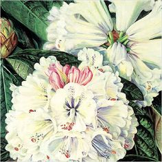 Rhododendron Granden by Marianne North (Painting ID: Marianne North, Oil Painting Gallery, Still Life Oil Painting, Book Images, Online Painting, Botanical Prints, Pretty Pictures, Contemporary Artists, 24 October