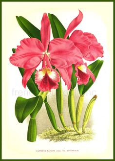 antique french botanical print pink orchid от FrenchFrouFrou
