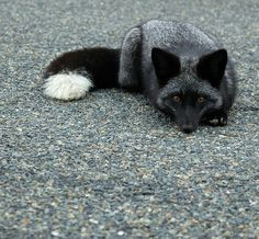 beautiful-wildlife: Silver Fox Kit by matt knoth