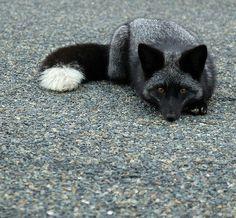 silver black color morph red fox | animal + wildlife photography