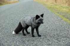 Marbled fox, camouflaged