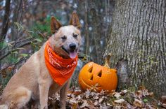 Torch loves jack-o-lanterns , treats, and company for the hunter's moon walk.