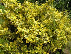 Euonymus Fortunei Emerald Gold Emerald, Herbs, Gardening, Gold, Plant, Lawn And Garden, Herb, Emeralds, Horticulture
