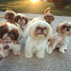 Look how many there are Shih Tzu dogs! Only missing your dog. Grab your dog, jump on your bike and meet this cute dog gang! Shitzu Puppies, Puppies And Kitties, Cute Puppies, Cute Dogs, Doggies, Puppys, Funny Dogs, Shih Tzus, Shih Tzu Puppy