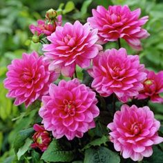 """Common NameDecorative Border Dahlia Botanical NameDahlia Plant Type/Life CycleAnnual Full Sun ColorPurple Bloom TimeMid summer until frost Estimated Mature Height20-24"""" tall Planting SeasonSpring, Summer Soil MoistureAverage, Well Draining Will TolerateSandy Soil, Loamy Soil, Acidic Soil Zones2, 3, 4, 5, 6, 7, 8, 9, 10 Suggested UsesHummingbirds & Butterflies, Containers, Cut Flowers, Easy to Grow Additional InformationHardy in zones 8-10"""