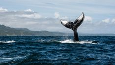 Watercolor Paper Texture, Humpback Whale, Ocean, Stock Photos, Whale Tail, Prints, Dominican Republic, Pictures, Photography
