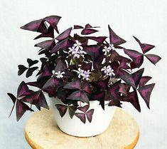 Purple Plants, Light Purple Flowers, Pink Plant, Bulb Flowers, Small Flowers, Exotic House Plants, House Plants Decor, Rare Plants, Flowering House Plants