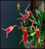 Trisetella triglochin. A species orchid ( color)
