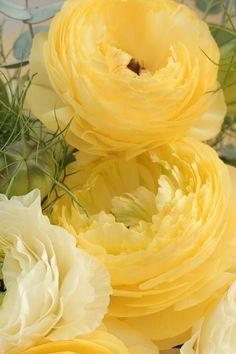 Yellow ranunculus.  Reminds me of my wedding dress!