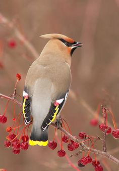 Waxwing - beautiful birds that show up one day every winter to clean up one of my crab apple trees.