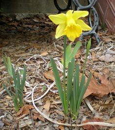 daffodils blooming in January in Georgia
