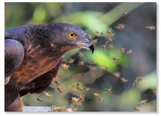 Oriental Honey Buzzard. Apparently unaffected by bee stings. Ouch! Ouch! Ouch! Ouch!