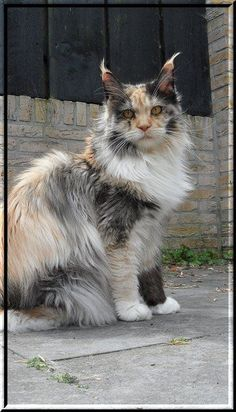 Maine Coons are my favorite cat! This one is especially unique. and like OMG! get some yourself some pawtastic adorable cat shirts, cat socks, and other cat apparel by tapping the pin!