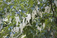 Enjoy Unusual White Flowers When You Plant a Dove Tree