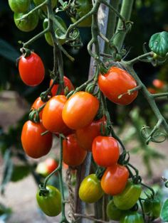 Late blooming #tomatoes... Here's some help!