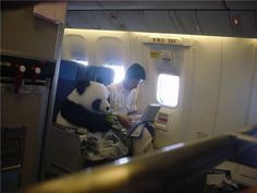 I want to sit beside a panda on an airplace! I wouldn't have my laptop out or anything, though!