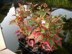 kamelontblad cordata chameleon - Sök på Google