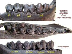 Molaren mandible Sus scrofa Molaren = kiezen mandible = onderkaak Sus scrofa  = huisvarken http://www.thefossilforum.com/index.php?/gallery/image/22015-pig-teeth-mandible/
