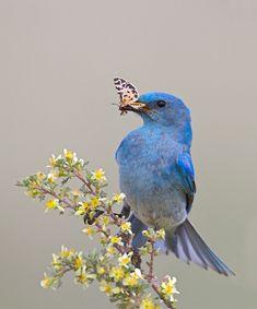 Mountain Bluebird by Enrique Patiño on 500px