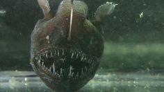 Humpback Anglerfish Photo By Javontaevious Creative Commons ShareAlike Licence Creepy Animals, Ugly Animals, Strange Animals, Deep Sea Creatures, Weird Creatures, Weird Fish, Creepy Facts, Nocturnal Animals
