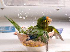 Bathing conure - NatGeo