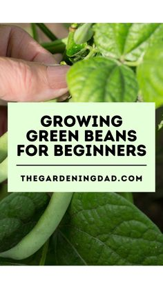 Learn How to Easily Grow Green Beans indoors, and in your garden with these beginner tips, tricks, and ideas! There is something for everyone in this Beginner's Guide to Growing Green Beans! #greenbeans #vegetablesgarden #gardening Starting A Vegetable Garden, Vegetable Garden For Beginners, Gardening For Beginners, Holistic Nutrition, Health And Nutrition, Health And Wellness, Growing Green Beans, Growing Greens, Easy Healthy Recipes