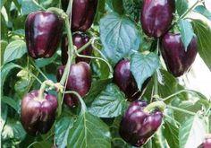 Lavender bell pepper
