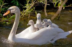 Swan And Baby Swan-Jesus went about doing good, and healing all that were oppressed by Satan.