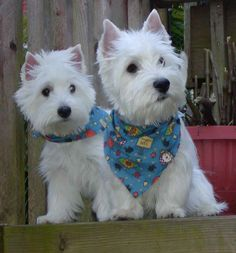 Sweet Westies/ I have my two dogs also, one a westie.  We have always called them da boys.  Love them so much.