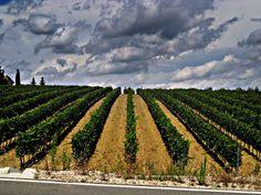 Poggibonsi - Tuscan Vineyards Photo   Tuscany Landscapes - Tuscany Pictures & Photos