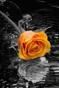 Touch of an orange rose ✨
