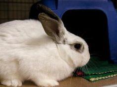 SHANNA is an adoptable Bunny Rabbit Rabbit in Boston, MA.