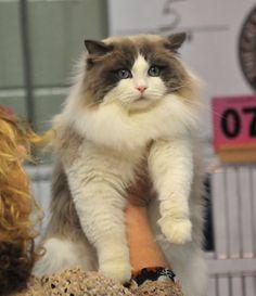 Ragdoll Cats Ragdoll Kittens by LottaRags Ragdoll Cattery - Our Ragdoll Cats