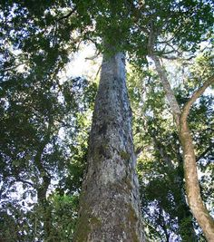 South Africa's National Tree: Yellowwood (Podicarpus Latifolius) Forest Garden, Tree Forest, South Afrika, African Love, Out Of Africa, Countries Of The World, Continents, Land Scape, Around The Worlds