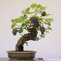 JPB:Bonsai Collection4 | Grape