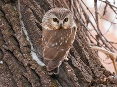 A Northern saw-whet is named for one of its calls that sounds like a saw being whetted. Beautiful Creatures, Animals Beautiful, Cute Animals, Saw Whet Owl, World Birds, Power Animal, Owl Bird, Snowy Owl, Totems