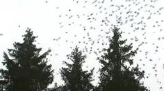 Une pluie d'oiseaux dans une vallee de l'Ardenne.