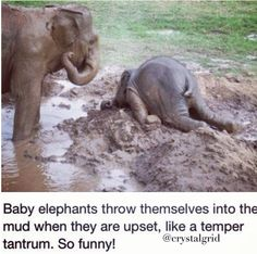 Baby elephants throw themselves into the mud when they get uset Awwww!