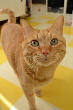 ぼくわちくわ. Kisses❗️❣ Orange And White Cat, Yellow Cat, White Cats, Orange Tabby Cats, Red Cat, Cute Cats And Dogs, Cats And Kittens, Group Of Cats, Amor Animal