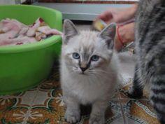 KEKOA - Gato adoptado - AsoKa el Grande