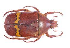 Plaesiorrhinella plana undulata