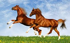 Wallpaper Download 5120x3200 Two horses frolic on the plain - spring time. Animal Wallpapers. HD Wallpaper Download for iPad and iPhone Widescreen 2160p UHD