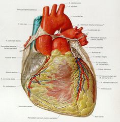 I have a crush on the circulatory system... =\