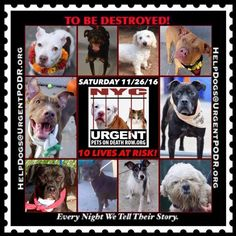 TO BE DESTROYED 11/26/16 - - Info  Please Share:   To rescue a Death Row Dog, Please read this:http://information.urgentpodr.org/adoption-info-and-list-of-rescues/   To view the full album, please click here: http://nycdogs.urgentpodr.org/tbd-dogs-page/ -  Click for info & Current Status: http://nycdogs.urgentpodr.org/to-be-destroyed-4915/
