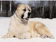 asain shepard dog - Google Search