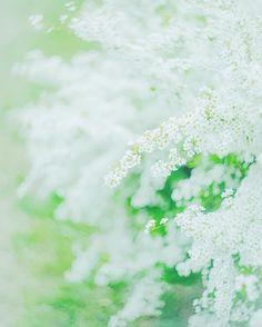 * #sony #sonya7 #sonyalpha #a7 #vscocam #vscoflowers #instaflower #flowers #helios44 #雪柳 #oldlens